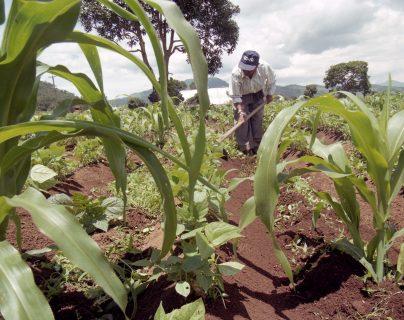 La siembra de maíz en algunos sectores ya empezó y, estimulados por los precios, algunos productores esperan incrementar la superficie de cultivo. Para este año se espera una producción de 36 a 40 millones de quintales de maíz. (Foto Prensa Libre: Hemeroteca)