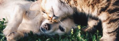 La buena relación entre perros y gatos es posible (Foto Prensa Libre: Pexels / Snapwire).