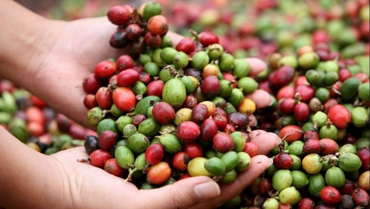 Un 20% de productores y exportadores entró en una fase de cambio  para lograr mejores precios en el mercado con negociaciones directas de la cosecha o de lotes con los clientes. (Foto Prensa Libre: Hemeroteca)