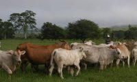 Los productores de ganado en pie confirmaron que se redujo la producción por la especulación de la venta de carne canina en el mercado local. (Foto Prensa Libre: Hemeroteca)
