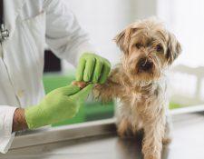 Aprender a educar a un perro es indispensable para la comunicación entre el animal y su amo. Asimismo, hay que llevar frecuentemente a la mascota al veterinario. (Foto Prensa Libre: Servicios)