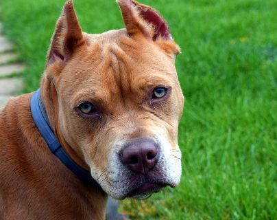 La amputación de orejas y cola es una práctica estética en las mascotas. (Foto Prensa Libre: Servicios).