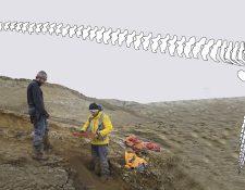 El rescate del reptil gigante se realizó en la Antártida durante sucesivas campañas del Instituto Antártico Argentino y culminó en 2017. (Foto Prensa Libre: Instituto Antártico Argentino)