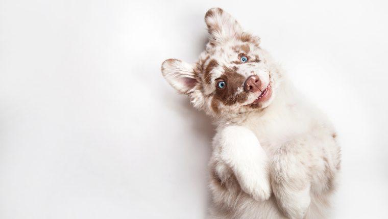 Las características de los perros albinos es la baja pigmentación en ojos, nariz y pelo. (Foto Prensa Libre: Servicios).