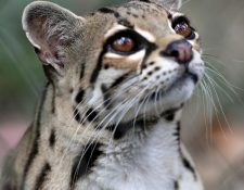 El tigrillo es una especie que habita en la selva petenera y otras regiones de Centroamérica. (Foto Prensa Libre: EFE)