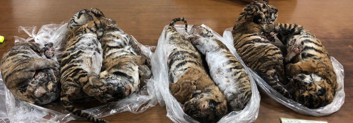 Siete tigres congelados hallados en un auto en Vietnam