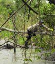 Guardarrecursos de Fundaeco y Cecón localizaron un tapir deshidratado en el Parque Nacional Mirador Río Azul y Biotopo Dos Lagunas, en Flores, Petén, por lo que decidieron ayudarlo y evitar que muriera de sed. (Foto Prensa Libre: Cortesía Francisco Asturias)