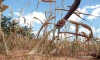XAU01. MUTOKO (ZIMBABUE), 13/03/2019.- Fotografía que muestra un campo de maíz marchitado por la falta de lluvia, este jueves en Mutoko (Zimbabue). La época de sequía ha provocado que alrededor de 4 millones de personas necesiten asistencia alimentaria. EFE/ Aaron Ufumeli