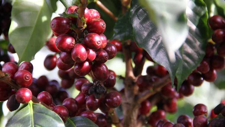 Hay productores que han abandonado sus cultivos de café que no compensan los costos de producción en los países productores, según confirmó René A. León Gómez Rodas, director ejecutivo de Promecafé. (Foto Prensa Libre: Hemeroteca)