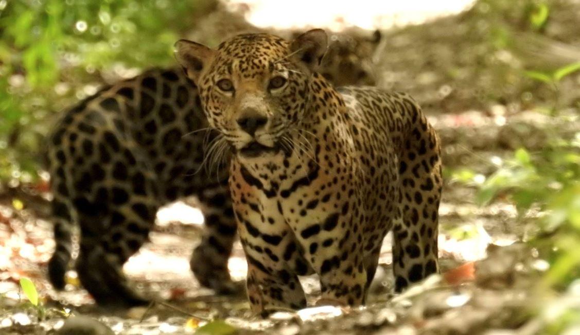 Sorprende avistamiento de pareja de jaguares en época de apareamiento en selva de Petén