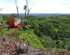 Una de las guacamayas rojas al momento de ser liberadas en el Parque Nacional Sierra de Lacandón, Petén. (Foto Prensa Libre: Conap).