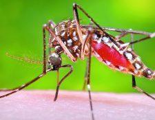 El mosquito Aedes aegypti se ha propagado en el país. Este es el transmisor del dengue. (Foto Prensa Libre: Hemeroteca PL)