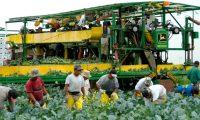Agricultores guatemaltecos trabajan en una finca de Quebec, donde se cultiva coliflor. Son parte del Programa de Trabajadores Extranjeros Temporales de Canadá.(Foto Prensa Libre: Hemeroteca PL)