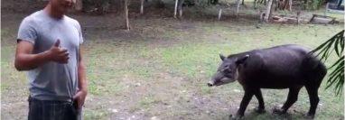 Un guardarrecursos de la Fundaeco observa al tapir que llega a alimentarse al campamento de Dos Lagunas, en Flores, Petén. (Foto Prensa Libre: Cortesía Francisco Asturias)