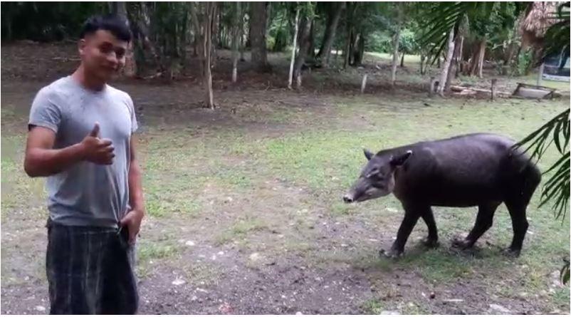 ¿Por qué este tapir que vive en estado natural no le teme a los humanos?