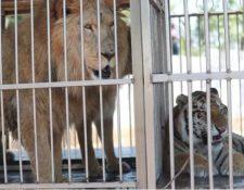 Leones y tigres incautados a circos esperan ser trasladados a santuarios de Estados Unidos y Sudáfrica. (Foto Hemeroteca PL)