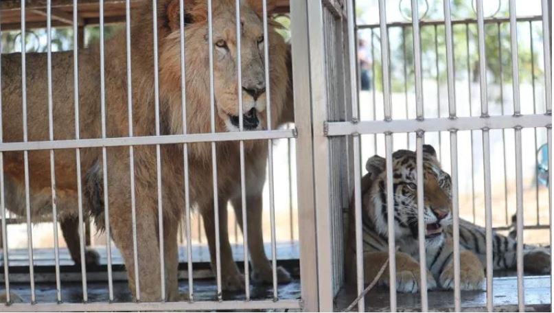 A un año de incautación, 15 tigres y cuatro leones esperan ser llevados a santuarios