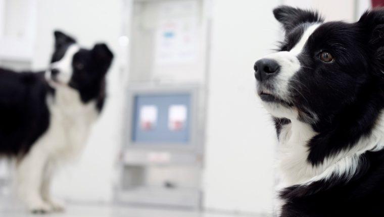En el Clever Dog Lab de la Universidad de Veterinaria de Viena se realizan pruebas con perros para determinar las capacidades cognitivas de esos animales. (Foto Prensa Libre: EFE)