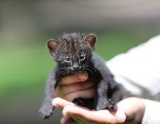 El yaguarundí o gato moro  es una especie de mamífero carnívoro de la familia Felidae de pelaje pardo a negro. Fotografía Prensa Libre: Erick Avila