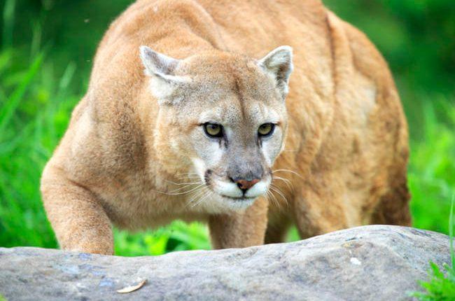 El puma es considerado uno de los mayores felinos en América. (Foto referencial: AFP)