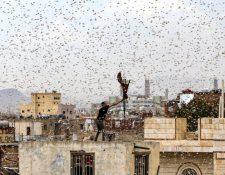 Saná, capital de Yemen, fue invadida por langostas en julio.