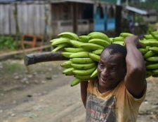 Productores de banano de Colombia aseguran que la calidad de su producto está garantizada. GETTY IMAGES