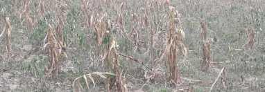 Toda la cosecha de maíz se perdió en la aldea Guachipilín, Rabinal, Baja Verapaz. (Foto Prensa Libre: Cortesía Rogelio Osorio)