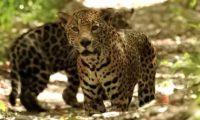 La pareja de jaguares fue vista en un área del Parque Nacional Mirador Río Azul y Biotopo Dos Lagunas. (Foto Prensa Libre: Cortesía Francisco Asturias)