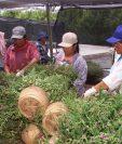 Analistas recomendaron modular las expectativas sobre la generación de visas de trabajo agrícola temporal hacia Estados Unidos. (Foto Prensa Libre: Hemeroteca)