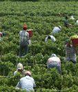 En Estados Unidos, los guatemaltecos se desempeñan principalmente en la agricultura. (Foto Prensa Libre: Hemeroteca PL)