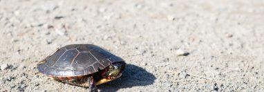 Si el caparazón de la tortuga empieza a ponerse blando o tiene manchas probablemente experimente a falta de exposición solar. La luz solar les aporta calcio, elemento que les ayuda a fortalecer los huesos y  caparazón. (Foto Prensa Libre: Servicios)