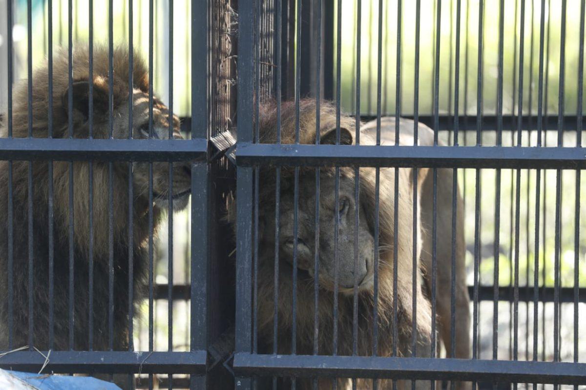 Hacinados y bajo altas temperaturas vivían tigres y leones incautados a circos