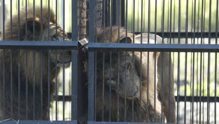 Los leones permanecen en jaulas mientras se concluyen los trámites para ser llevados a santuarios de otros países. (Foto Prensa Libre: Esbin García)