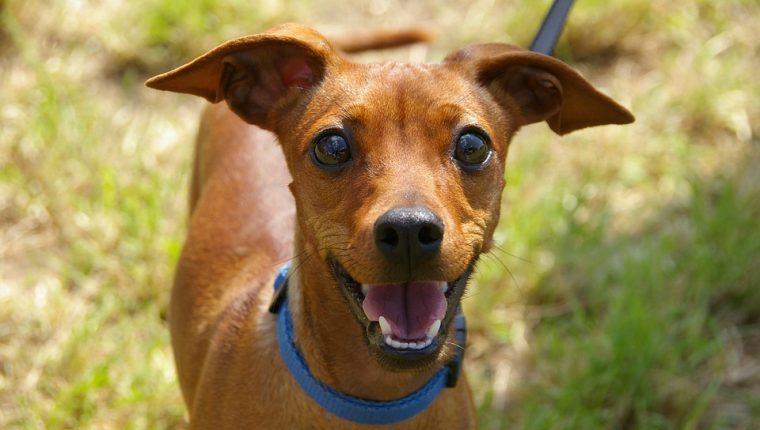 El ladrido también es un forma de expresión en los perros.  (Foto Prensa Libre: Pixibay)