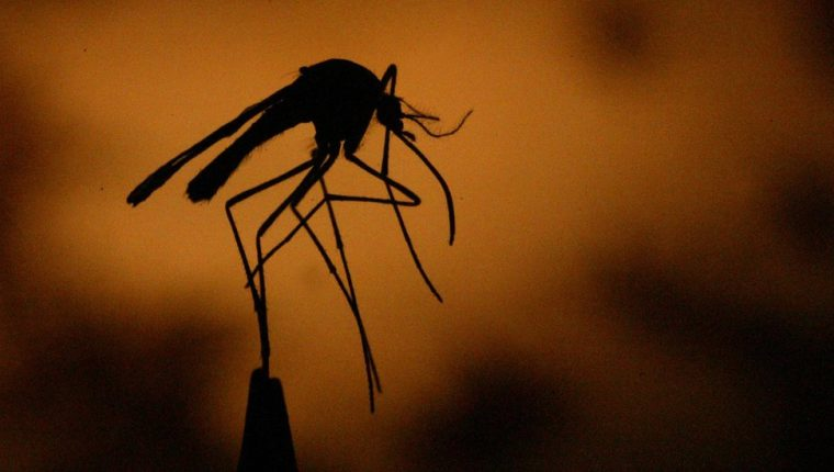 El dengue es transmitido por el zancudo Aedes Aegypti. (Foto Prensa Libre: Hemeroteca PL)