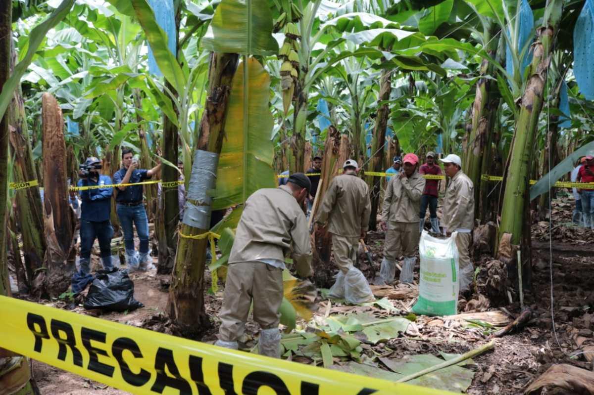 Fusarium R4T: Estas medidas aplica Guatemala en las costas para proteger el banano del destructivo hongo