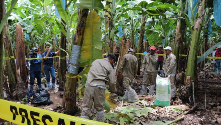 Guatemala mantiene alerta y protocolos en las zonas productoras de banano y plátano. (Foto Prensa Libre: Hemeroteca)