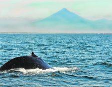 La ballena que quedó varada en la playa de Tulate, en Retalhuleu, estaba enredada con plásticos. (Foto Prensa Libre: Hemeroteca PL)