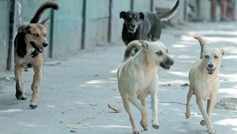Algunos de los casos que atienden los socorristas es de peatones mordidos por perros sin dueño, aunque muchos incidentes también ocurren en viviendas.(Prensa Libre: Hemeroteca PL)