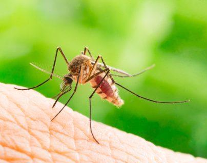 Los mosquitos en casa podrían traernos enfermedades como el dengue. (Foto Prensa Libre: Servicios).
