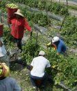 Los migrantes serán reclutados por el Ministerio de Trabajo o por contratistas certificados para que puedan trabajar temporalmente en Estados Unidos. (Foto Prensa Libre: Hemeroteca PL)