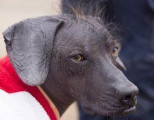 Perros sin pelo como Sumac fueron alguna vez parte clave de la cultura precolombina de Perú. BBC
