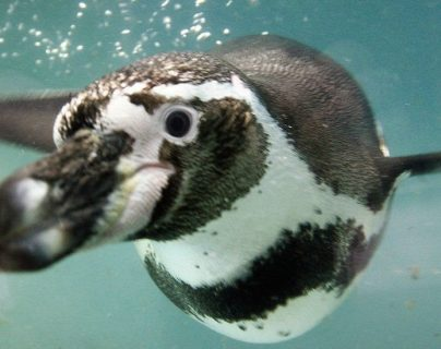 El pingüino de Humboldt habita en las costas de Chile y Perú, así como en las islas cercanas del Pacífico.