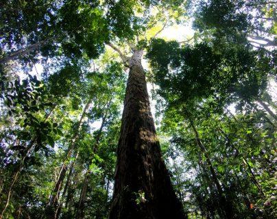 El árbol ganador del récord está en el norte de Brasil.