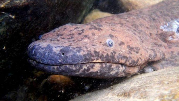 La nueva especie fue descubierta en base a análisis genéticos de un espécimen que había sido capturado hace más de siete décadas. BEN TAPLEY/ZSL