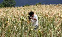 ACOMPAÑA CRÓNICA: HONDURAS SEQUÍA - AME5403. JAMASTRAN DANLI (HONDURAS), 09/09/2019.- Un hombre graba una plantación de maíz seca el 9 de septiembre de 2019, en Jamastran Danli (Honduras). La sequía que este año ha afectado a Honduras, con regiones en las que no llueve desde hace diez meses, tiene sedientos a muchos de sus habitantes, ha causado pérdidas en más del 50 por ciento de granos básicos como maíz y fríjol, mientras que en el oriental departamento de Olancho han muerto unas 1.000 cabezas de ganado. EFE/ Humberto Espinoza