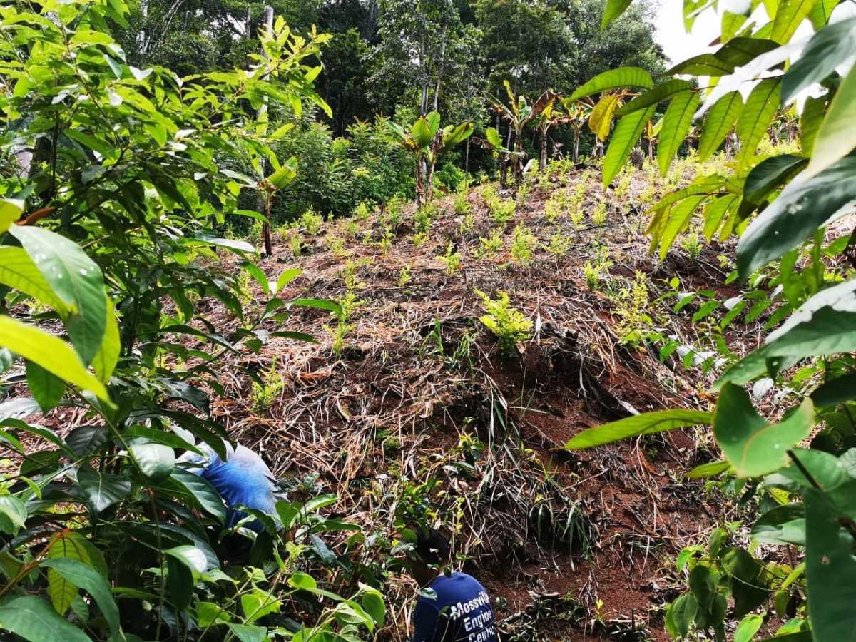Encuentran otro narcolaboratorio y más plantaciones de hoja de coca en Izabal