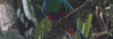 El 5 de septiembre se conmemora el Día del Quetzal, símbolo patrio de Guatemala.  Foto Prensa Libre: Hemeroteca