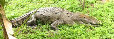 La Corroncho medía unos 2.70 metros de largo y tenía entre 45 y 50 años de edad. (Foto Prensa Libre: Cortesía Francisco Asturias)