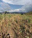 Las pérdidas agrícolas no solo han afectado a los granos básicos como el maíz sino frutas y vegetales. (Foto, Prensa Libre: Hemeroteca PL).